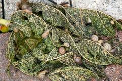 Улитки на лист папапайи стоковая фотография rf