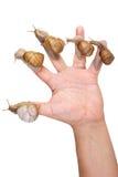 Улитки сада на человеческой руке Стоковое Изображение