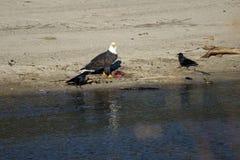Удить белоголовых орланов Стоковая Фотография RF