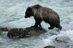 Удить бурого медведя Стоковое Изображение