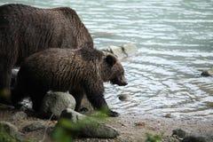 Удить бурого медведя Стоковое Фото