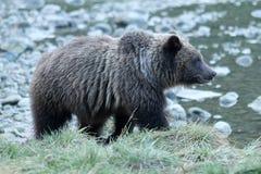 Удить бурого медведя Стоковое Изображение RF