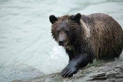 Удить бурого медведя Стоковые Изображения