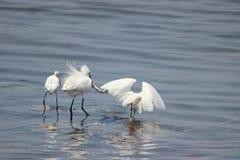 Удить Egrets Стоковые Фото
