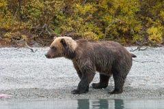 Удить grizzlystanding Стоковое Изображение RF
