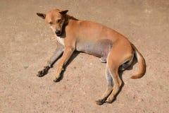 Улица или бездомная собака в Мьянме Стоковое Фото