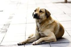 улица собаки рассеянная Стоковое Изображение