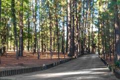 Улица среди высокорослых сосен Стоковое Фото