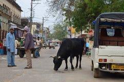 Улиц-жизнь с коровой, Nawalgarh, Раджастханом, Индией стоковые фотографии rf