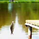 Уловленные рыбы на конце-вверх рыбн-штанги на рыболовной удочке на резервуаре, летнем дне Остатки концепции активные, хобби, сель Стоковые Фотографии RF
