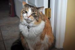 удовлетворяемый кот Стоковое Изображение