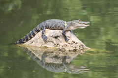 Улыбка аллигатора на утесе Стоковые Изображения