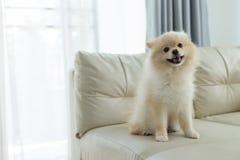Улыбка милого любимчика собаки Pomeranian счастливая в доме Стоковые Фотографии RF