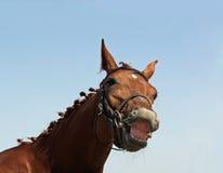 Улыбка лошади каштана Стоковые Фото