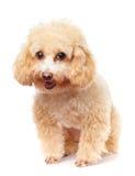 Улыбка пуделя собаки Стоковая Фотография