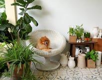 Улыбка собаки Pomeranian, животное играя внешние улыбки Стоковое Изображение RF