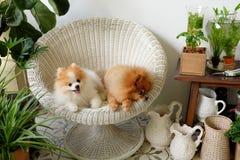 Улыбка собаки Pomeranian, животное играя внешние улыбки Стоковые Изображения RF