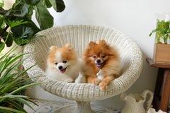 Улыбка собаки Pomeranian, животное играя внешние улыбки Стоковое фото RF