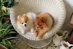 Улыбка собаки Pomeranian, животное играя внешние улыбки Стоковая Фотография