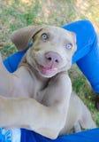 Улыбка щенка собаки Weimaraner Стоковые Фото