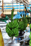 Фабрика банана Стоковые Фотографии RF