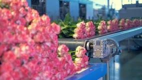 Фабрика цветка с кучей свежих роз медленно нагруженных и транспортированных на транспортер 4K сток-видео