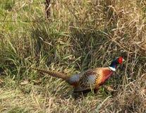 фазан Кольц-шеи Стоковые Изображения RF