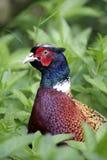 фазан крана Стоковые Фото