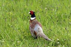 фазан крана Стоковое Изображение RF