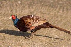 фазан одичалый стоковое фото