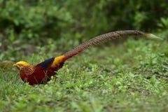 фазан повелительницы amherst Стоковое Изображение