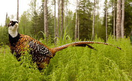 фазан пропускает Стоковое Изображение RF