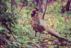 фазан птицы ³ 🌠в лесе Стоковая Фотография RF