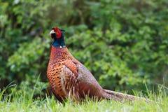 фазан сельской местности Стоковое фото RF