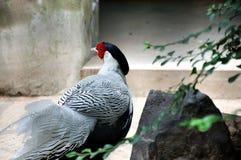 фазан смотря назад Стоковая Фотография RF