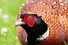 фазан счета пакостный смотря мыжской вы Стоковые Изображения