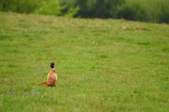 фазан Стоковые Фотографии RF