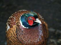 фазан Стоковые Фото