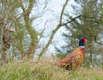 фазан Стоковая Фотография RF