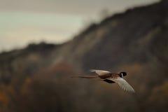 фазан Стоковые Изображения RF