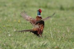 фазан стоковая фотография