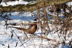 фазан Стоковое Изображение