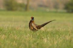 фазан Стоковое Фото