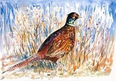 фазан Стоковые Изображения