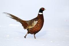 Фазан, colchicus фазана стоковые изображения rf