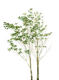 Файл изолированный завода дерева с зеленым цветом выходит ветвь на белый ба Стоковые Фото