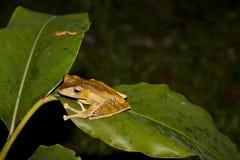 Файл-ушастая древесная лягушка Борнео Стоковые Изображения RF