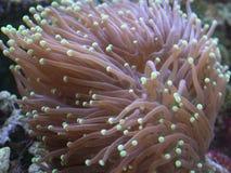 факел коралла Стоковое Изображение
