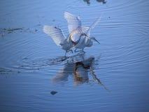 фантазия egret стоковые изображения
