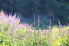 Фантастическая лаванда Стоковое Фото